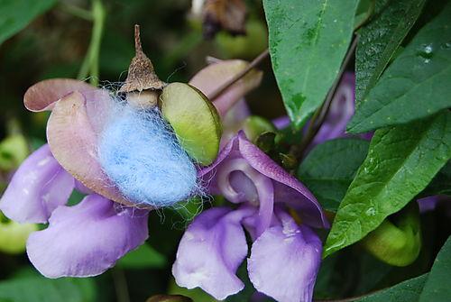 Snail flower 3