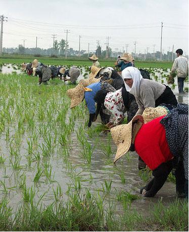 Ricefields2