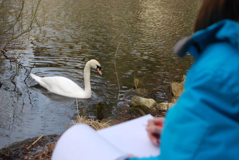 Swandrawing